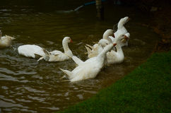 Swan. Pretty swan bathing together in river stock photo