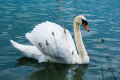 Swan with pride swimming in a lake in summer Stock Photo
