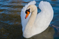 Swan profile Stock Image