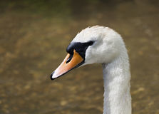 Swan in profile Royalty Free Stock Photo