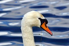 Swan In Profile Stock Photos