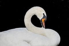 Swan Profile Stock Photo