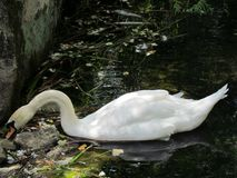 Swan in the protected natural area of the Vorontsov Palace stock image