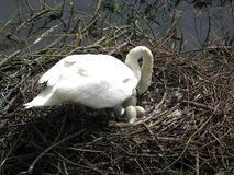 Swan protecting eggs. A swan hen protects its eggs in Spring Royalty Free Stock Photos