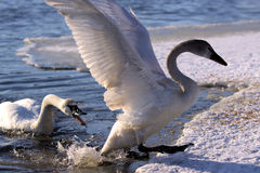 Swan protecting territory Royalty Free Stock Photo