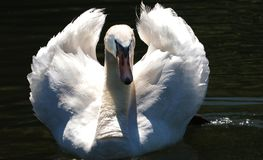 Swan, Proud To Be A Swan, Pride Royalty Free Stock Photos