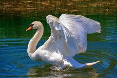 Swan. Proudly presents its feathers and deters intruders. Photo taken 08/05/2014 in Caorle, Italy Stock Image