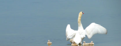 Swan ready protect its offspring Stock Photos