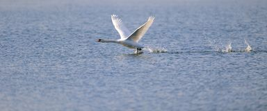 Swan ready for take off Royalty Free Stock Images