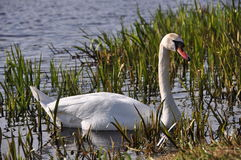 Swan in the reeds Royalty Free Stock Photos