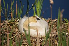 Swan among the reeds on nest head down. Swan sitting on nest among the reeds head down Royalty Free Stock Images