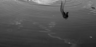Swan Refelction. Swan Refelection in Black and White Royalty Free Stock Image