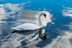Swan and reflaction. Picture of swan that come close to me while i was taking pictures of him and other swan. piture is taken near Zadar, Dalmatia, Croatia Royalty Free Stock Photos