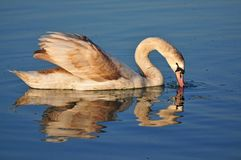 Swan reflected in the water of Lake Balaton Stock Photography