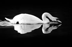 Swan reflecting on black water. Side view swan with stooped neck reflecting on water; black background royalty free stock photo