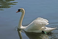 Swan reflecting on lake. Side view of white swan reflecting on lake royalty free stock image