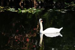 Swan reflecting in lake, South Florida Royalty Free Stock Images