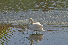 Swan reflecting on river. Side view of preening white swan reflecting on river or lake royalty free stock images