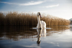 Swan reflecting in water Royalty Free Stock Photos