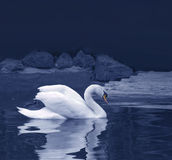 Swan reflection Stock Images