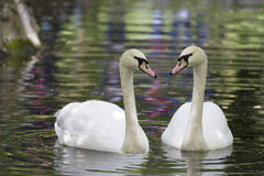 Swan reflection Royalty Free Stock Photography
