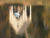 Swan on the reflection. Lonely swan is swimming on the autumn lake Royalty Free Stock Photos