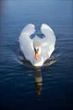 Swan reflection. Swan gliding on London lake with reflection Royalty Free Stock Photos