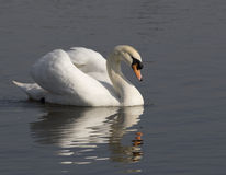 Swan and reflection. Stock Image