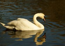 Swan and reflection Royalty Free Stock Images