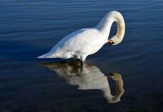 Swan reflection Royalty Free Stock Photos