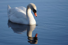 Swan with reflection Royalty Free Stock Photography