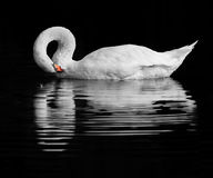 Swan reflection Royalty Free Stock Image