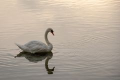 Swan with a reflection stock images