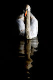 Swan reflection portrait Stock Image
