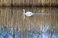 Swan with reflection Royalty Free Stock Photo