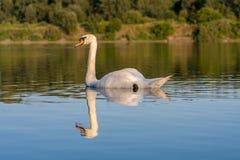 Swan reflection Stock Photo