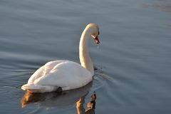 Swan reflection in the water at sunrise on the pond stock photography