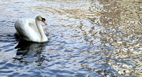 Swan and reflection Royalty Free Stock Photo