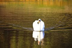 Swan reflection Stock Photography