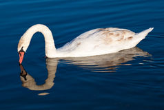 Swan with reflections on a clear blue lake Stock Images