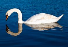 Swan with reflections on a clear blue lake Stock Photos