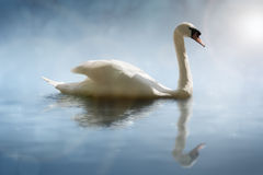 Swan with reflections Stock Photo
