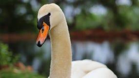 Swan& x27 ; regard fixe de s photographie stock