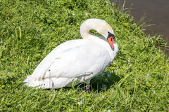 Swan. Relaxing on the side of a river Stock Photography