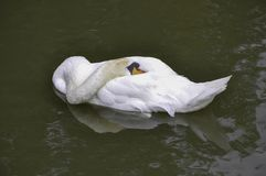 Free Swan Relaxing, Sleeping On The Lake Royalty Free Stock Images - 151875449