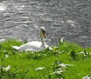Swan, resting, riverbank, sunny day. Royalty Free Stock Image