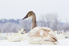 Swan resting on frozen river Stock Photo