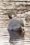 A swan resting in the golden light on Southampton Common royalty free stock image