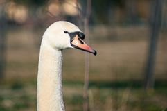 Swan is resting on the grass stock images