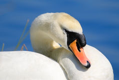 Swan resting head on neck Stock Photos